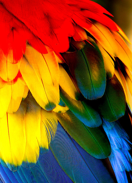 Colorfull Scarlet Macaw's Feather