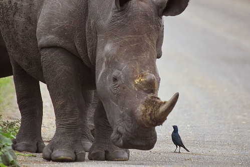 White rhino & friend