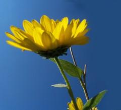 sunflowerbluesky