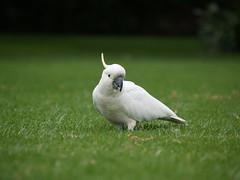 cockatoo, animal, parrot, grass, wing, sulphur crested cockatoo, green, fauna, lawn, beak, bird,