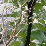 Bullhorn Acacia - Acacia cornigera - Costa Rica
