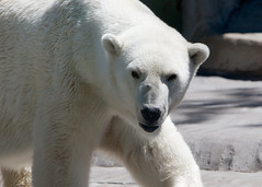 animal, arctic, polar bear, polar bear, mammal, fauna, bear,