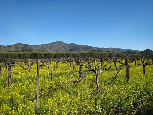 napa, mustard, old vines IMG_1366