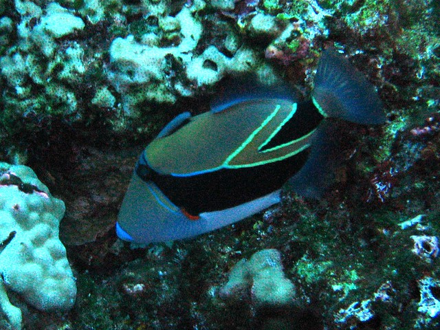 The state fish of hawaii flickr photo sharing for Hawaii state fish