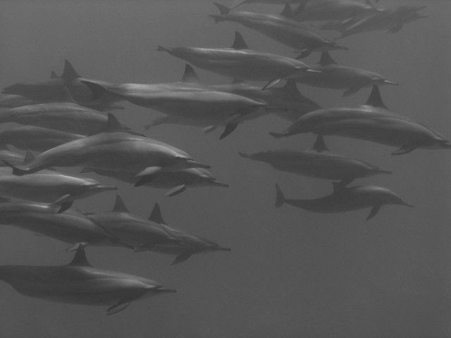 P1010299 dolphins black and white | Flickr - Photo Sharing!