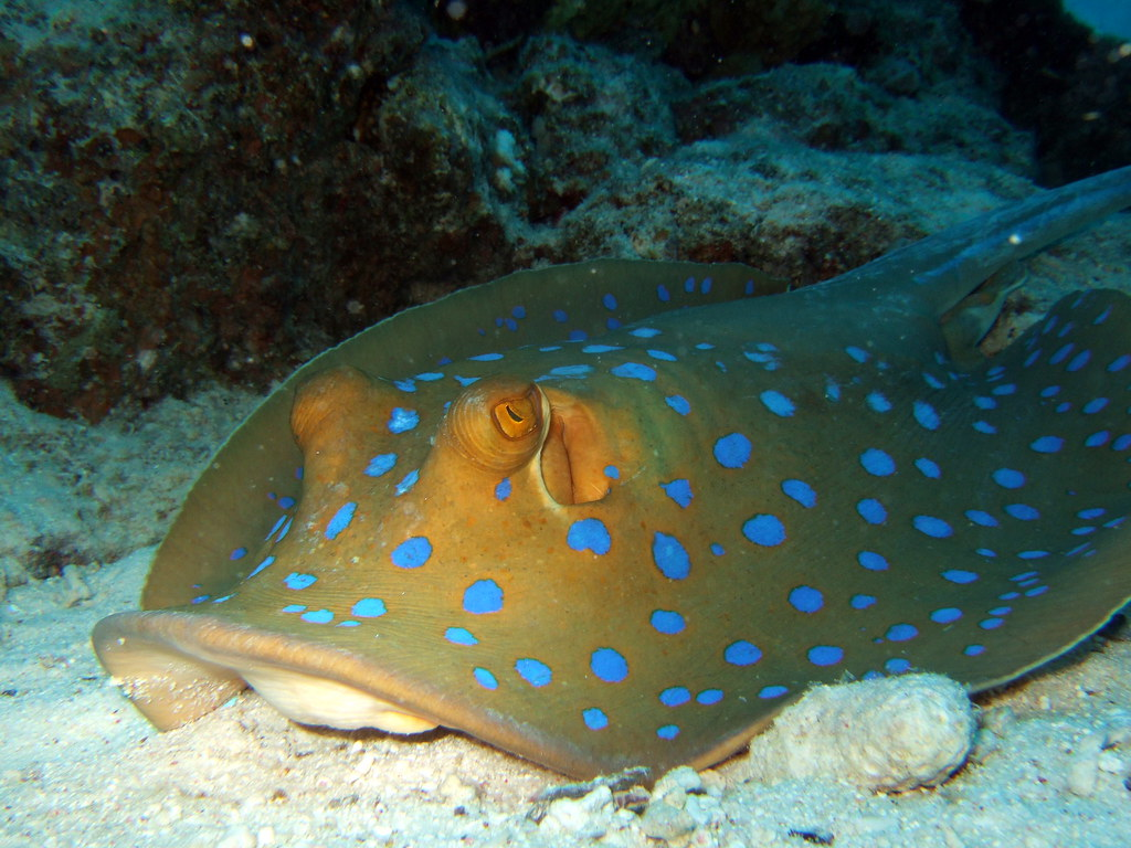 Blue spotted stingray taeniura lymma a photo on flickriver for Stingray fish tank
