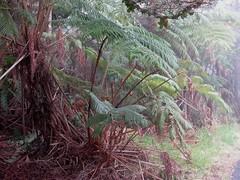 Tree Fern Crozier Unfurling -  Devastation Trail, Kilauea Iki