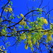 yellow blossoms and a blue sky by Ajay..