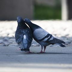 crow(0.0), blue(0.0), beak(0.0), wildlife(0.0), animal(1.0), wing(1.0), fauna(1.0), close-up(1.0), stock dove(1.0), bird(1.0),