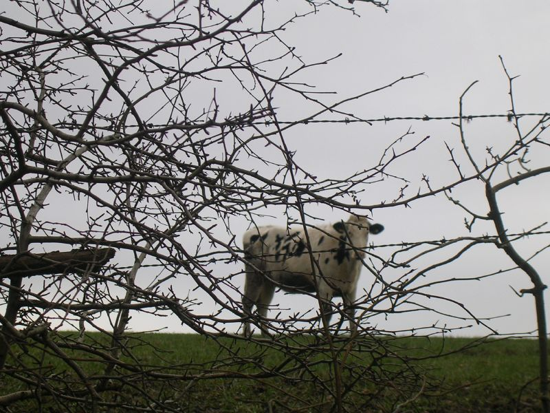 Cow through branches Petersfield to Rowlands Castle