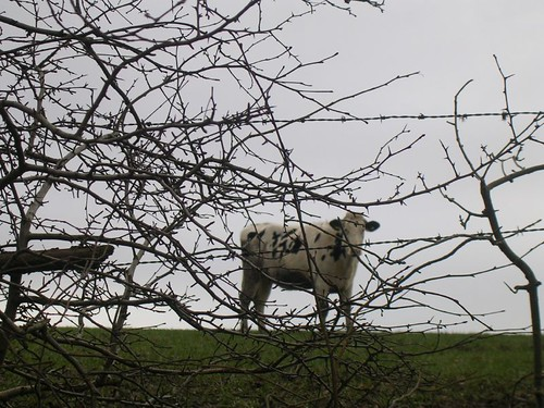 Cow through branches