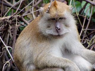 Crab-eating Macaque, Penang Botanic Gardens