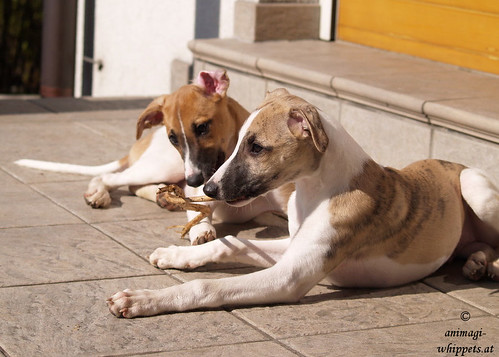 Whippets: Quentin & Peppino