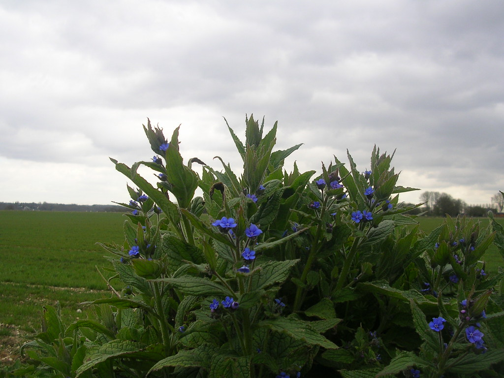 Green Alkanet Upper Warlingham to Hayes