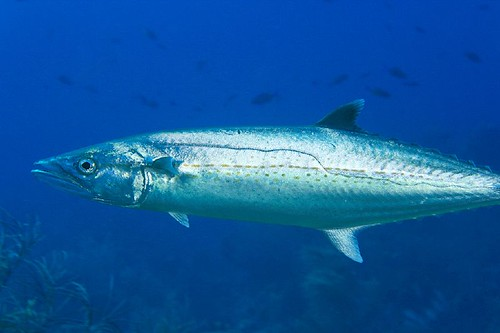 King mackerel scomberomorus cavalla for Spanish mackerel fish
