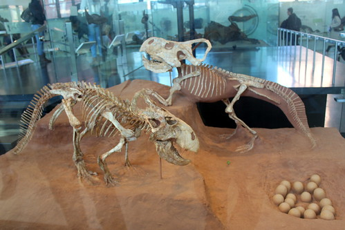 NYC – AMNH: Hall of Ornithischian Dinosaurs – Protoceratops Andrewsi