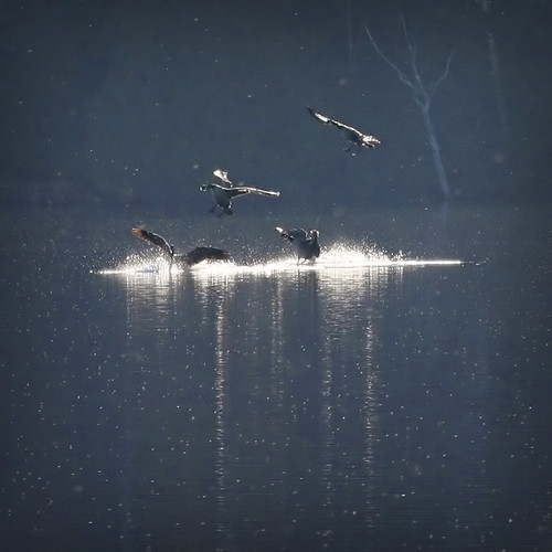 Splash landing… Canada Geese flying home