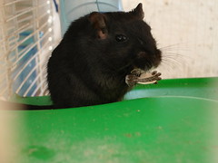 animal, rat, rodent, pet, mouse, green, fauna, muroidea, whiskers, pest,
