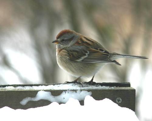 Tree Sparrow on feeder