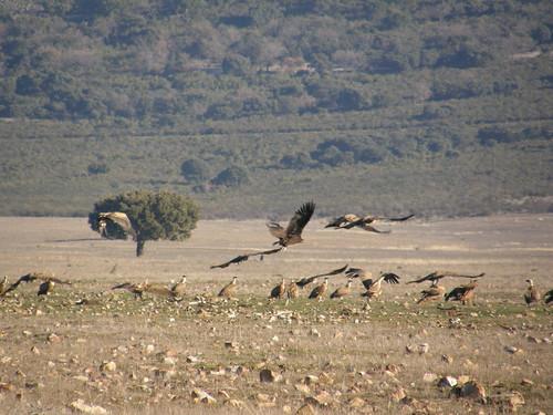 Grupo de buitres leonados y negros