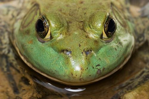 American bullfrog, Rana catesbeiana DSC_3891