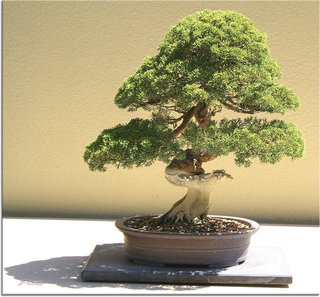 Arboles bonsai los peque os taringa - Arbolitos para jardin ...