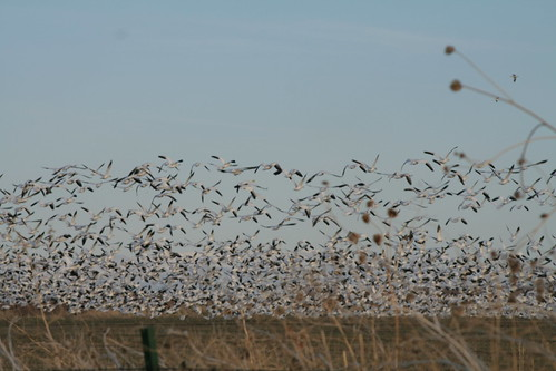 white lake snow geese flock honey valley snowgeese standish