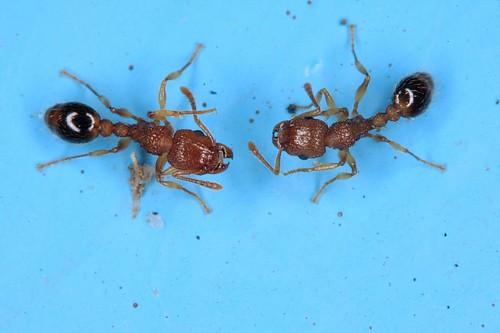 myrmicinae fourmis dans ma cuisine demandes d 39 identification page 2. Black Bedroom Furniture Sets. Home Design Ideas