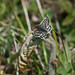 Two-banded Checkered Skipper - Photo (c) Celeste Ramsay, some rights reserved (CC BY-NC-ND)