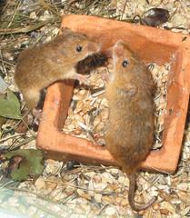 animal, rodent, mouse, fauna, degu, gerbil,