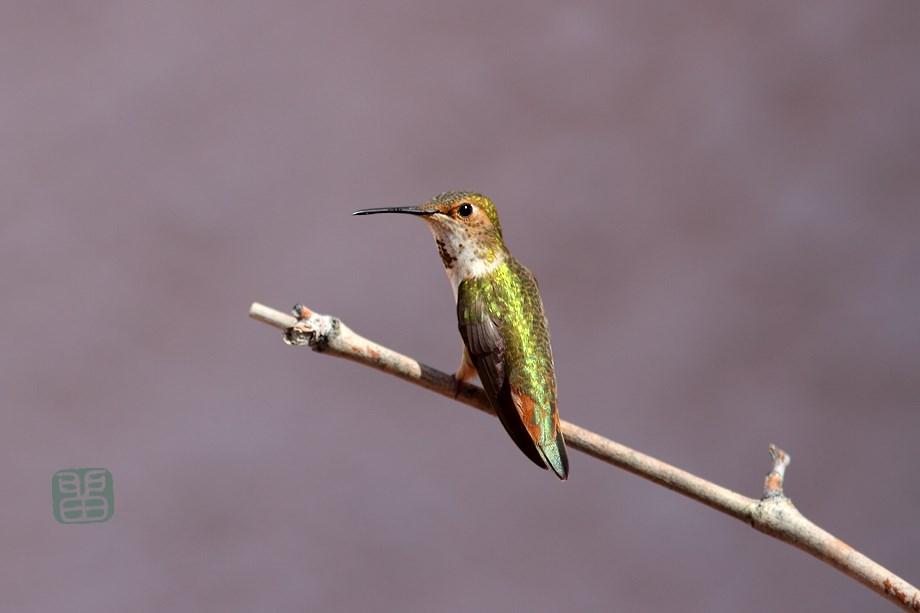 Allen's Hummingbird 060314