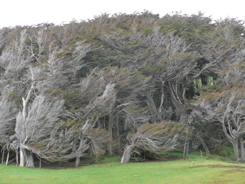 кривые деревья Новая Зеландия
