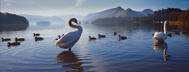Swans and Ducks, Derwentwater