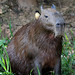 Capybara (Helen Pinchin)