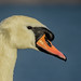Small photo of Mute Swan ...Adult male ( Cob )