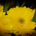 Yellow by libbylou1300