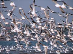 Sea Gull Flock