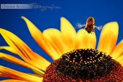 l'ape e il girasole
