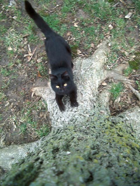 black cat climbing tree no 1 flickr photo sharing. Black Bedroom Furniture Sets. Home Design Ideas