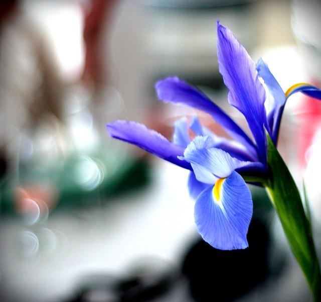 blue iris, Nikon D1X, AF Nikkor 50mm f/1.8D