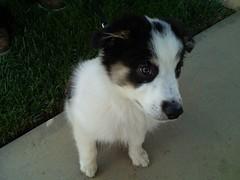 border collie, dog breed, animal, dog, pet, east siberian laika, miniature australian shepherd, carnivoran,