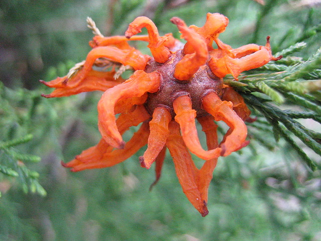 Cedar Apple Rust fruiting bodies on J. virginiana in the Border Mound area of the Native Flora Garden. Photo by Uli Lorimer