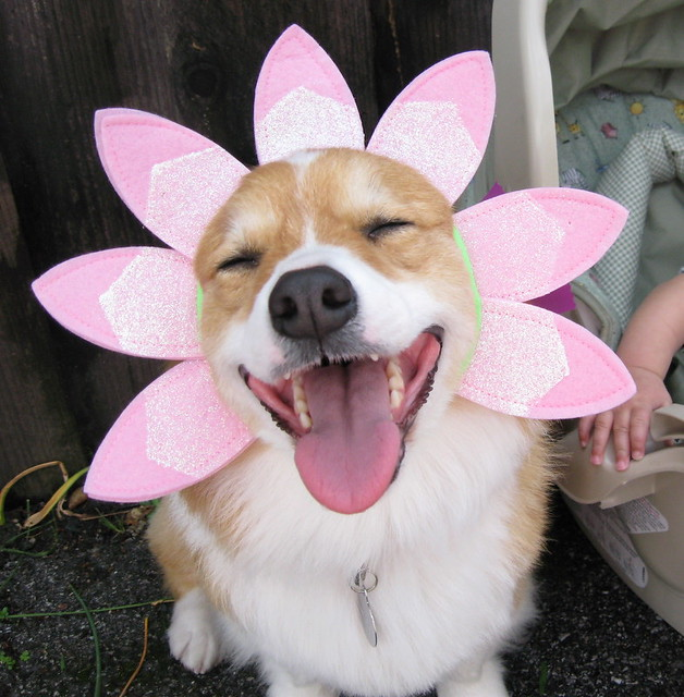 happy spring, happy corgi! (4 of 6) | Flickr - Photo Sharing!