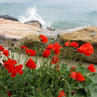 Poppies on the sea