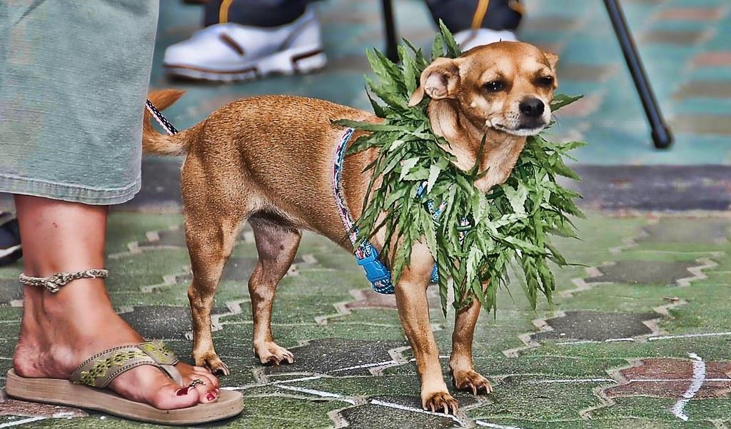 תוצאת תמונה עבור dogs cannabis