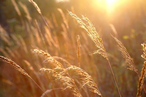 sunlight nature field outdoors gold wheat halo backlit stalks