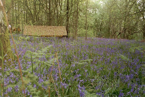 Basha camp in bluebells