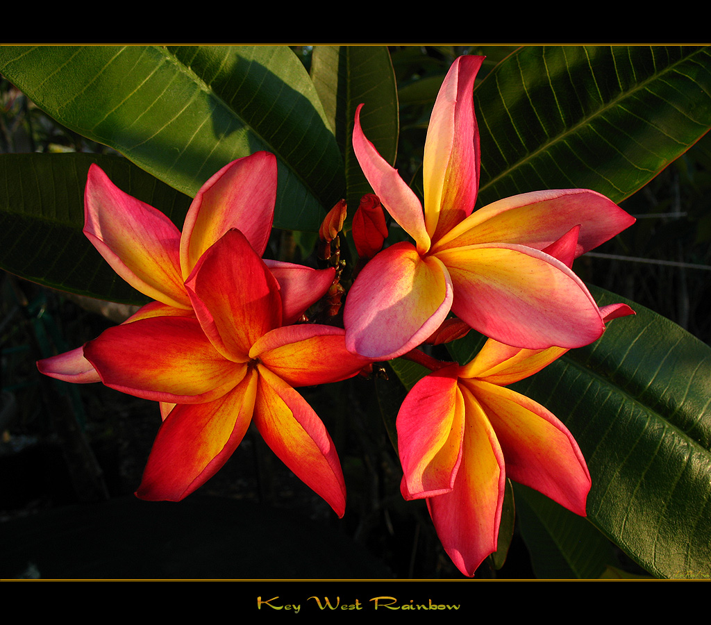 Florida Flowers The Plumeria Key West Rainbow a photo on Flickriver