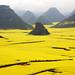 Luoping Rape Flower Fields by +Lanzi