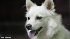 norwegian buhund(0.0), east siberian laika(0.0), kishu(0.0), northern inuit dog(0.0), icelandic sheepdog(0.0), dog breed(1.0), animal(1.0), dog(1.0), japanese spitz(1.0), volpino italiano(1.0), german spitz(1.0), white shepherd(1.0), canadian eskimo dog(1.0), berger blanc suisse(1.0), greenland dog(1.0), german spitz mittel(1.0), native american indian dog(1.0), carnivoran(1.0), american eskimo dog(1.0), samoyed(1.0),